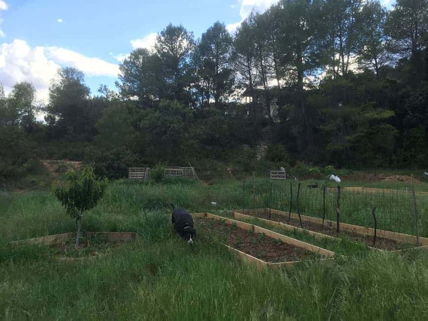raised vegetable garden beds in a green pasture with a black dog