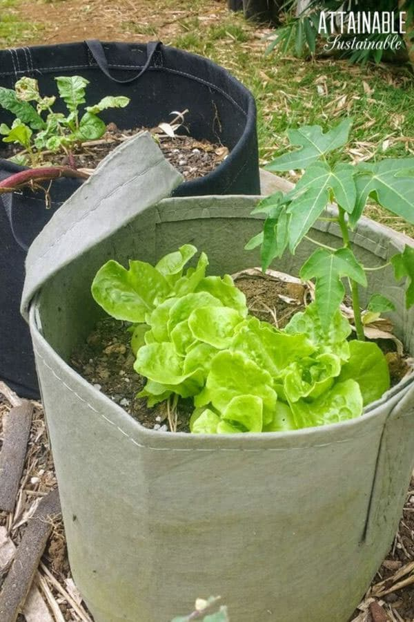 lettuce in a fabric pot