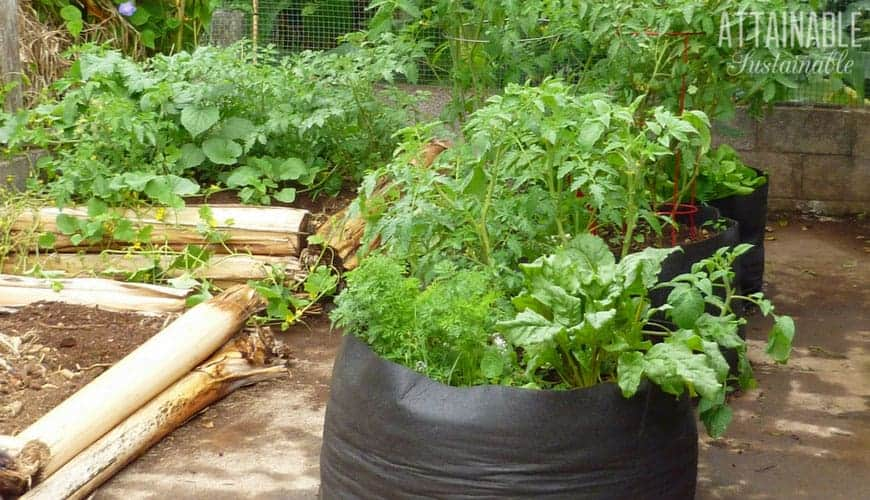grow bags on a driveway with beets and tomato plants