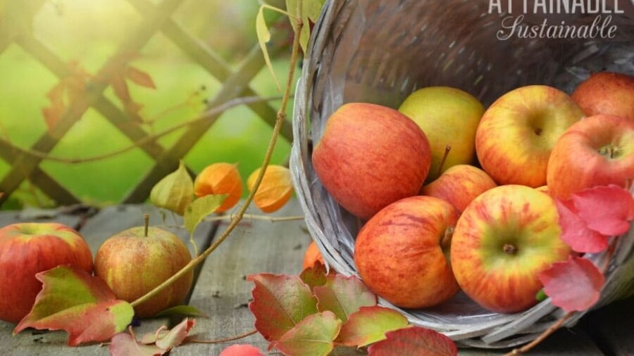 ripe apples rolling out of a basket