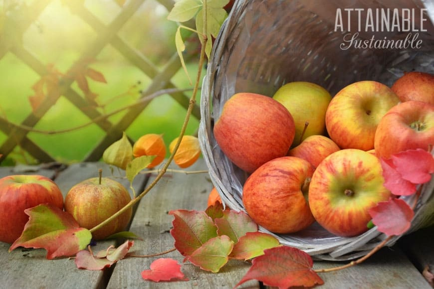 ripe red and yellow apples rolling out of a basket