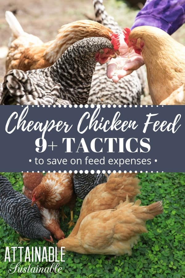 What To Feed Chickens When Youre On A Budget Eggs For Less