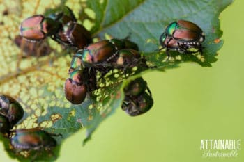 japanese beetles on a chewed up leaf