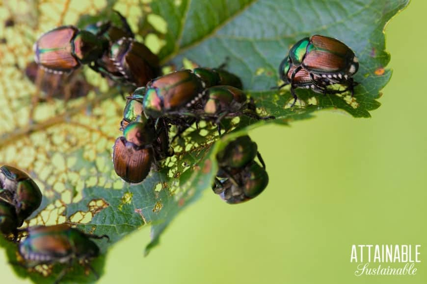 japanese beetle infestation on a chewed up leaf