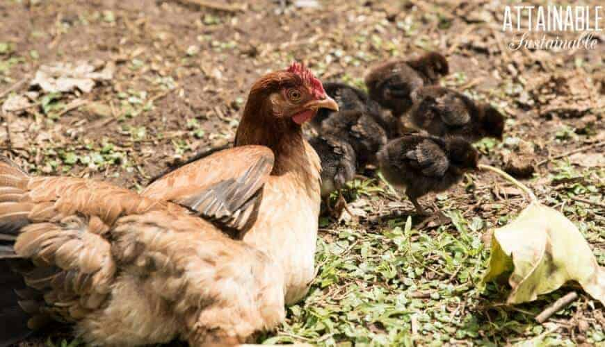 brown hen with black chicks