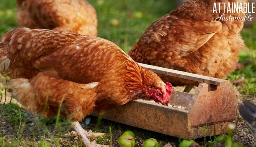 brown chickens at feeding trough