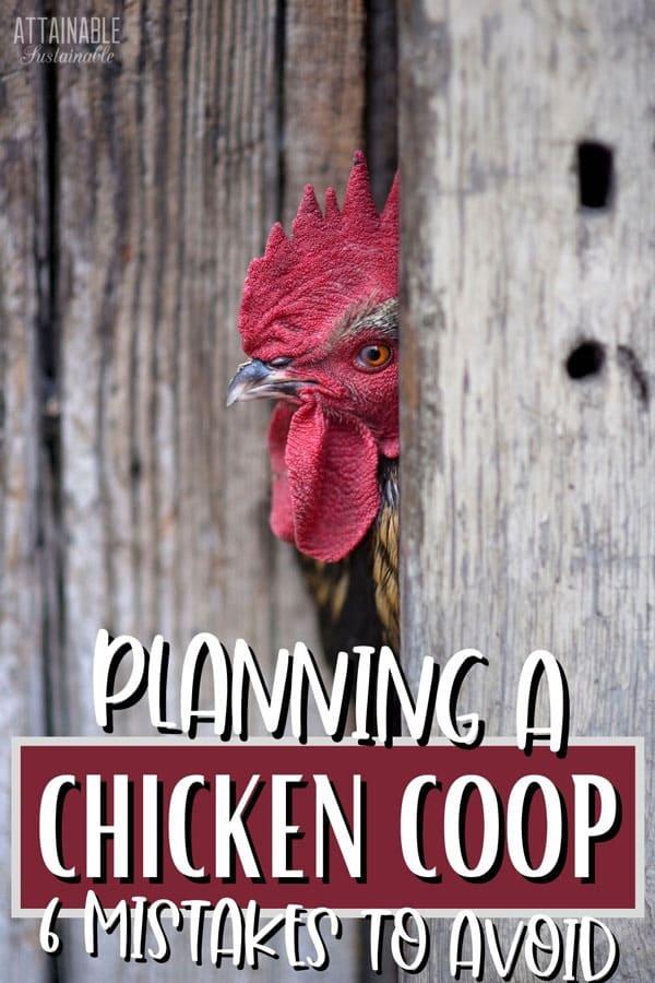 rooster peeking through a crack in grey barnwood