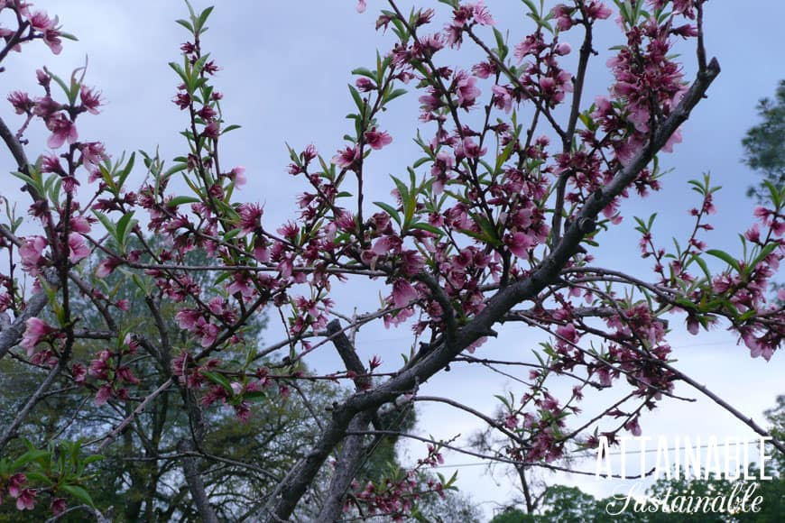 pink nectarine tree blossoms against blue sky - nectarine trees are beautiful in the springtime!