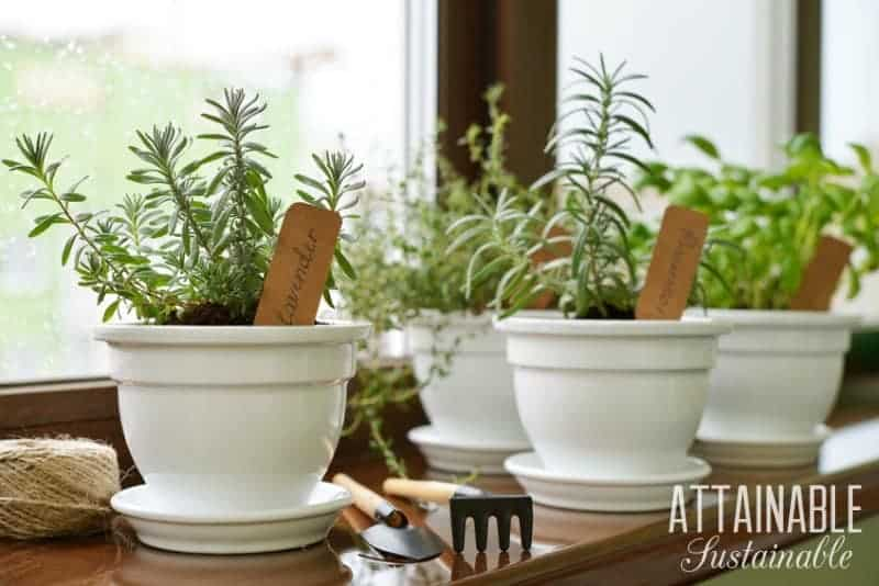 herbs in white ceramic pots -- gardening projects to tackle during winter