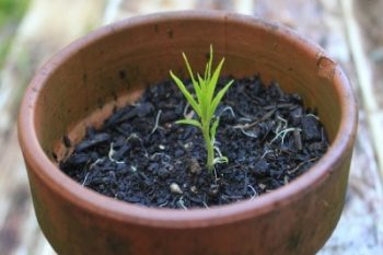 Grow a nectarine - or any stone fruit - from seed.