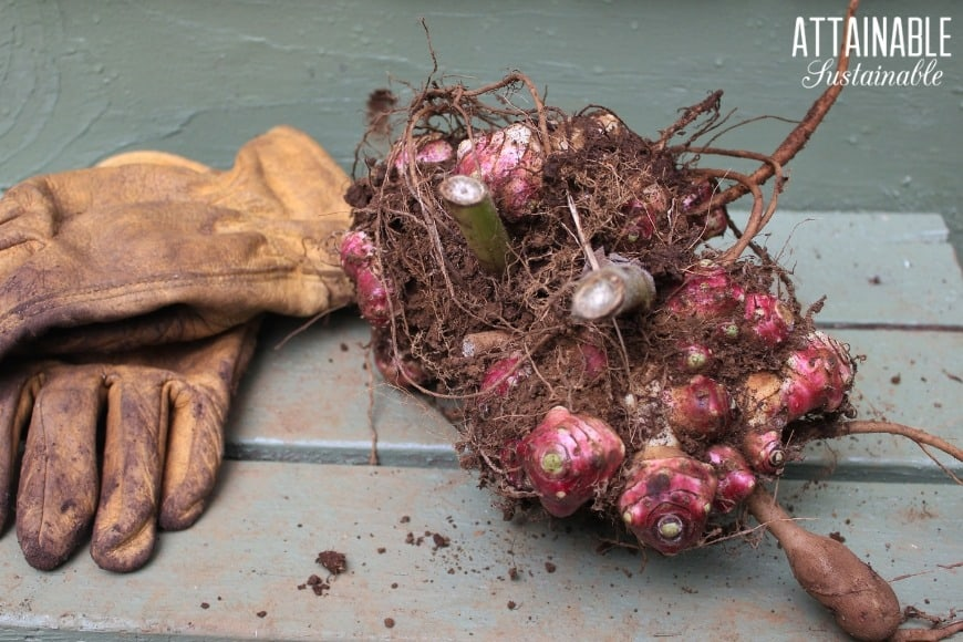 pink yacon root rhizomes with a pair of leather work gloves