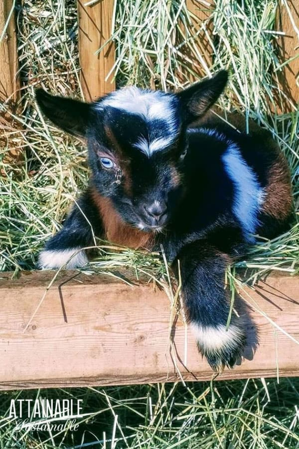 black brown and white nigerian dwarf goat kid in alfalfa trough
