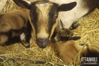 nigerian dwarf goat momma with two kids