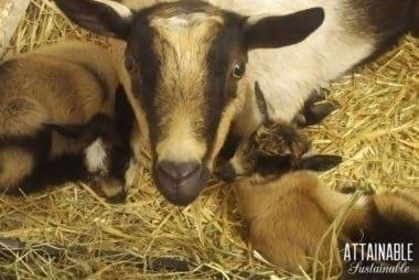 nigerian dwarf goat momma with two kids