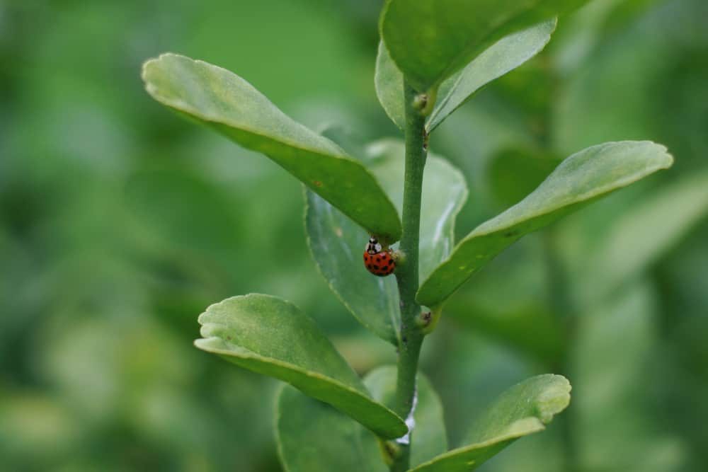 Encouraging ladybugs in the garden is helps to control aphids.