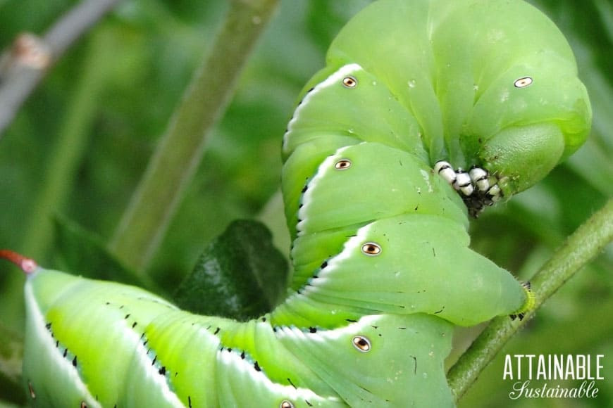 tomato hornworm pest on a plant - you're going to need organic pest control!