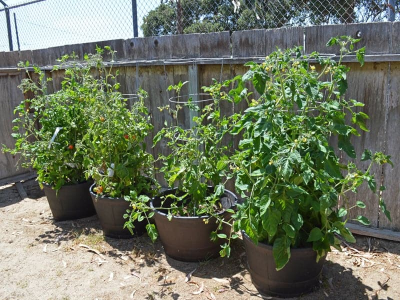 tomatoes growing in containers in an urban homestead backyard