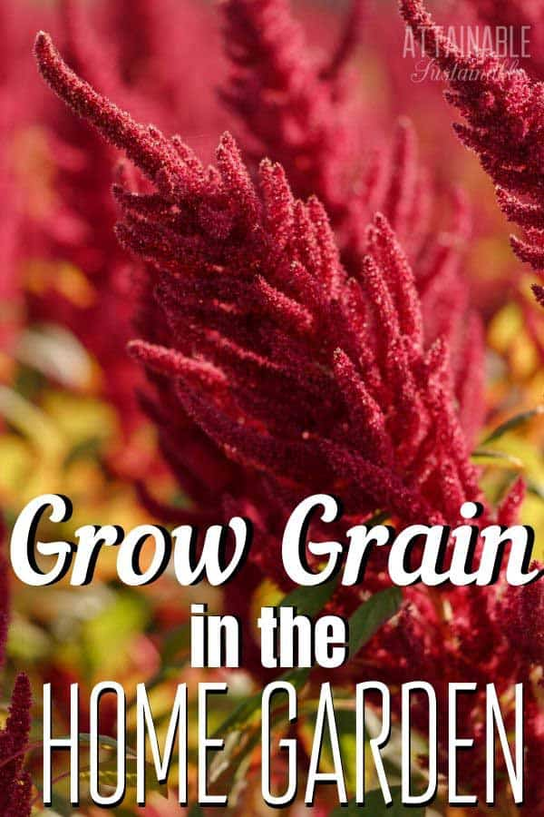 red seed heads of amaranth plant