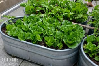 heads of lettuce in a galvanized vegetable garden container