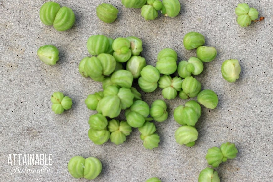green nasturtium seeds from above
