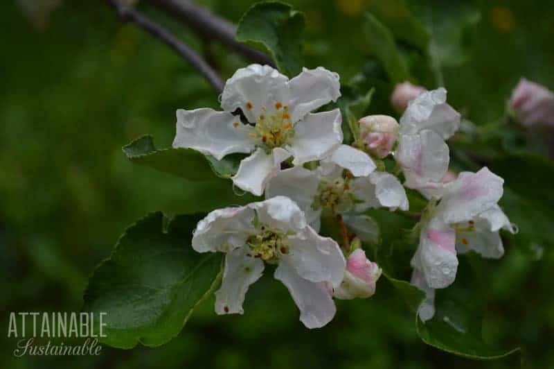 crabapple blossoms, white with a pink tinge