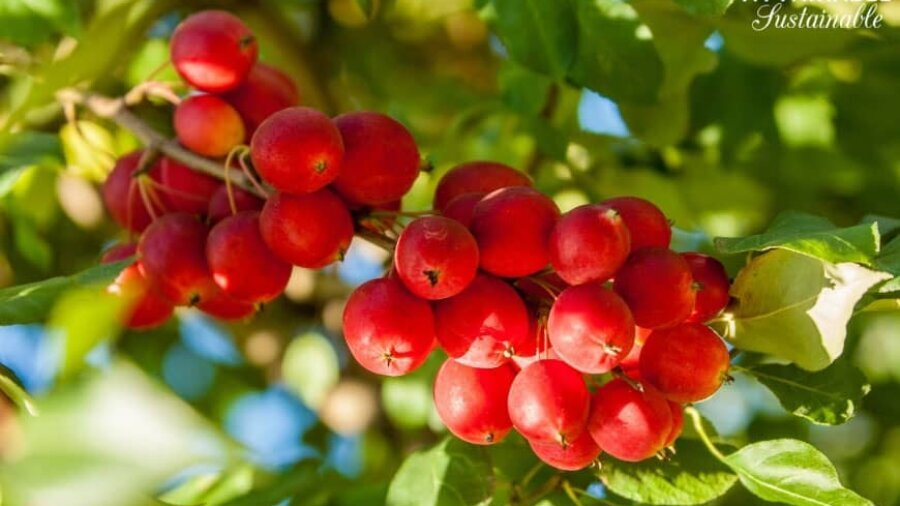 The Definitive Guide to Planting Crabapple Trees (And Why You'd Want To)