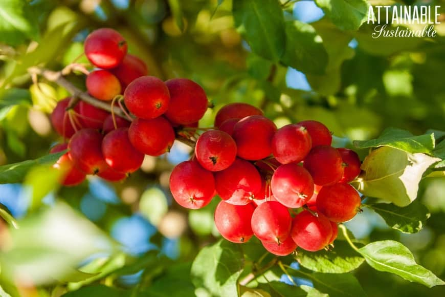 Everything You Need To Know About Crabapple Trees And Then Some