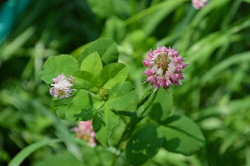 clover blossoms on green foliage: flowers you can eat
