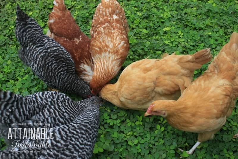 8 chickens, head to head in a (almost) circle on green groundcover