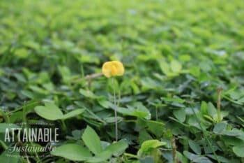 yellow peanut grass flower