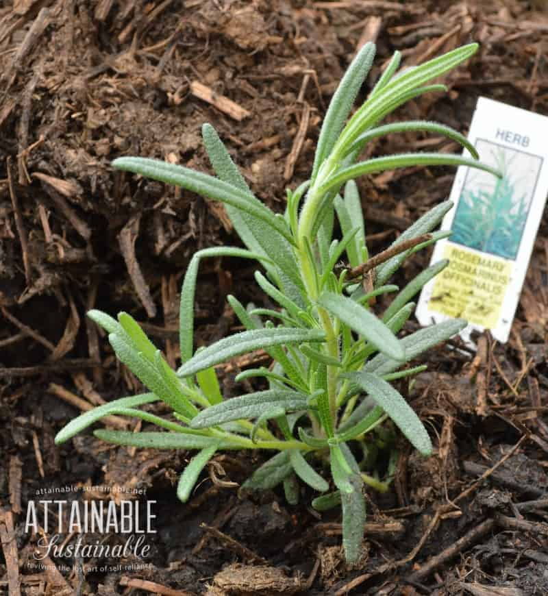 7 Herbs For Companion Planting And A More Robust Garden