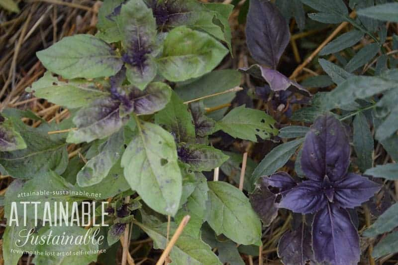 Companion planting with herbs: Basil is often grown near tomatoes, peppers, and eggplant.