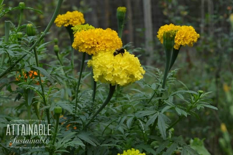 yellow marigold flowers with a bee on one, companion planting as natural pest control