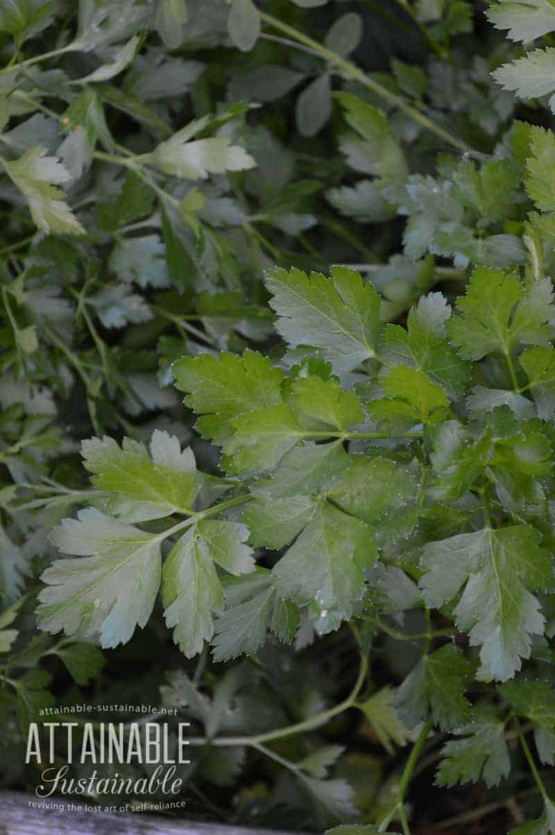 Companion planting with herbs: Plant parsley near tomatoes, corn, and asparagus.