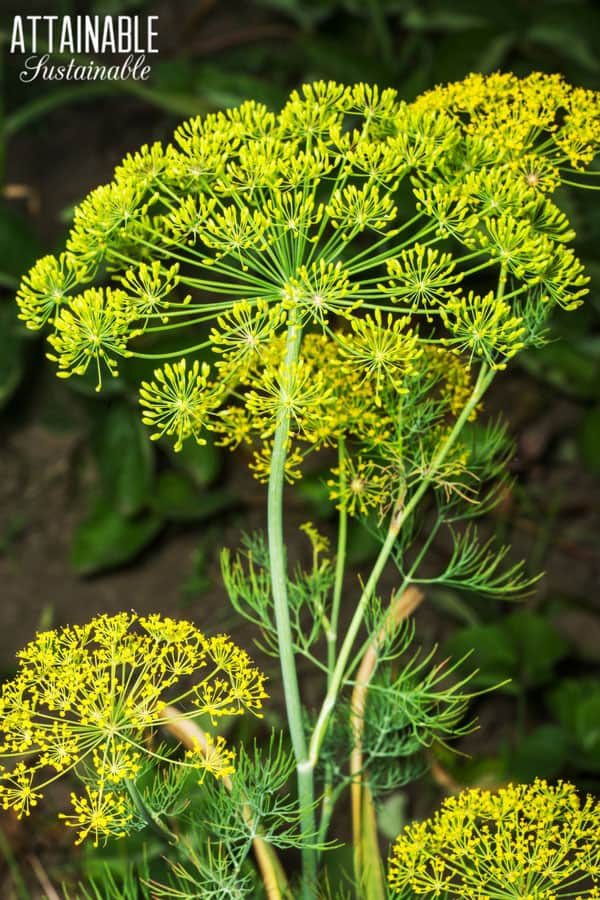 dill flowerhead with yellow flowers