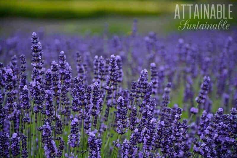 lavender flowers can be a natural mosquito control
