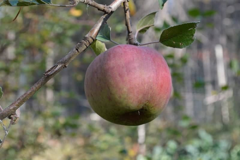 red striped apple hanging from a branch