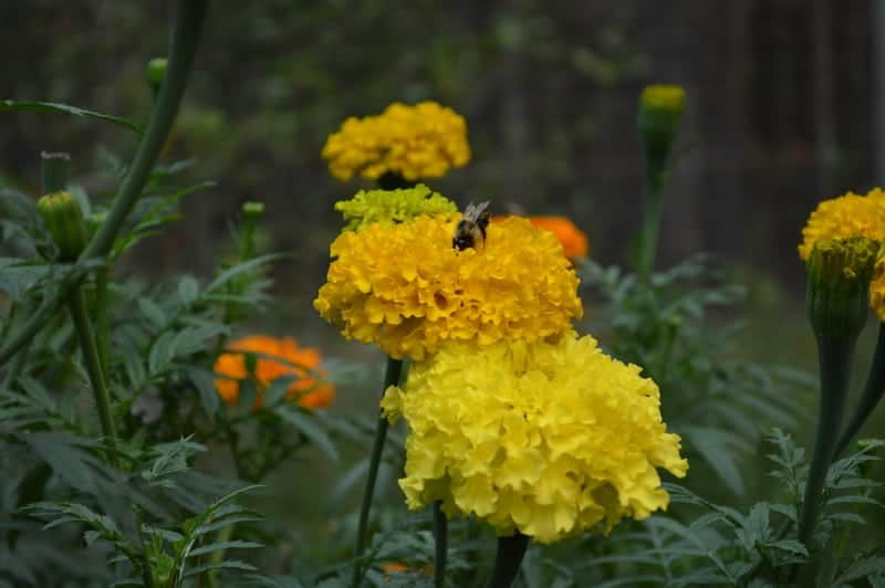 yellow marigold flowers with a bee