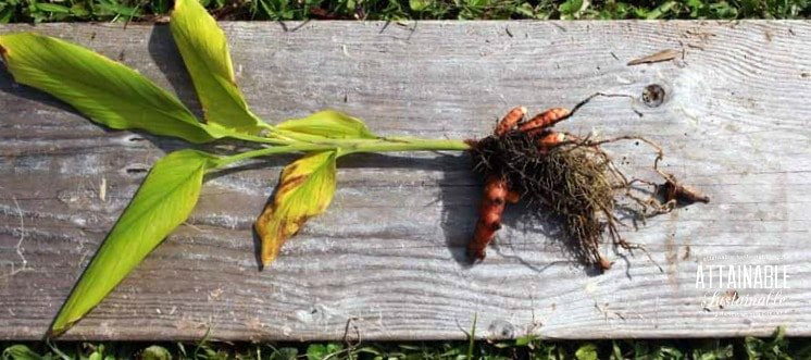 Freshly harvested turmeric root, still attached to browning leaves