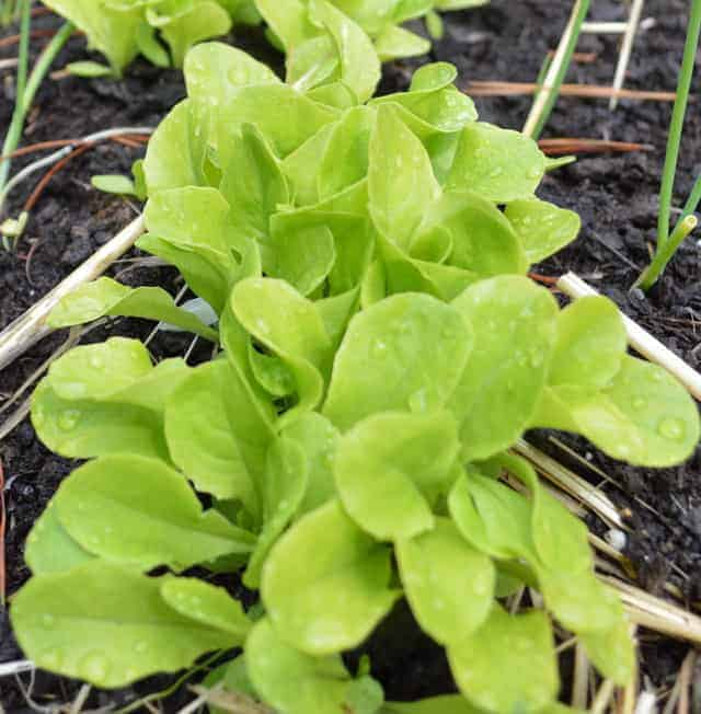 close up of green lettuce growing in soil