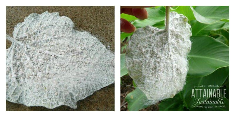Whitefly infestation can be devastating for your plants, both indoors and out. This is an outdoor infestation in Hawaii.
