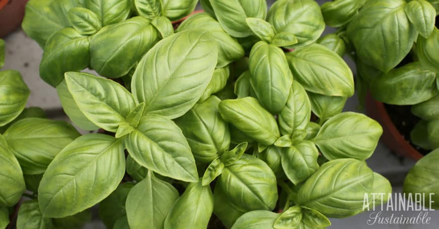 young basil plants from above