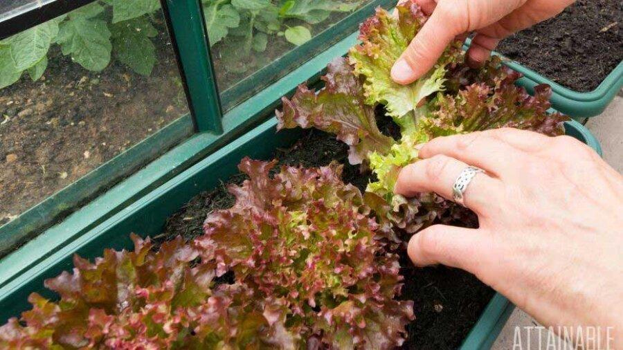 female hands harvesting lettuce