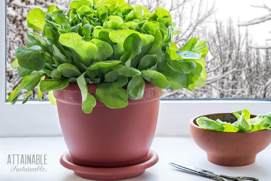 green lettuce growing indoors in terra cotta pot