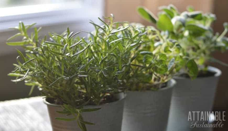 indoor herb garden: rosemary, oregano, sage in galvanized pots