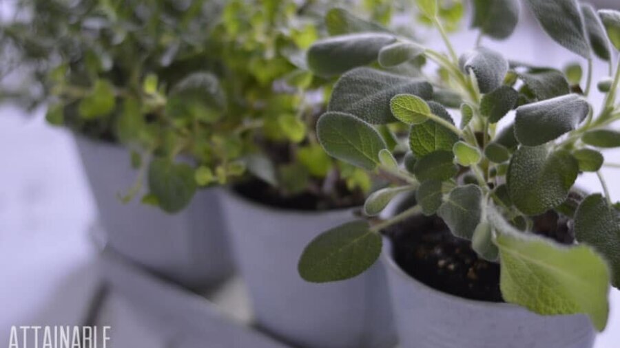 growing herbs in a windowsill