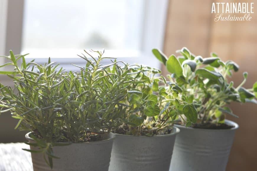 Indoor Herb Garden Oregano Thyme Mint In A Windowsill Herb Garden