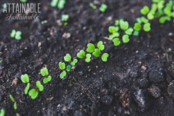 green seedlings in a line in dark garden soil