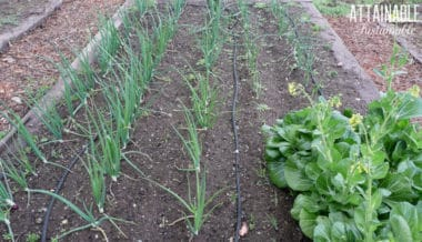 onions growing in a garden with rich soil