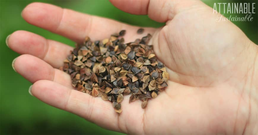 buckwheat seeds in a human hand